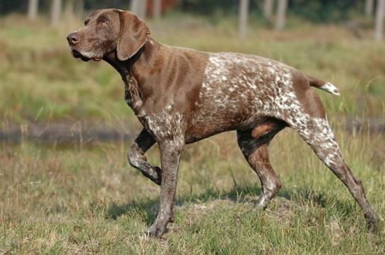 Hunting Dogs: Best Dog Breeds for Every Game Animal