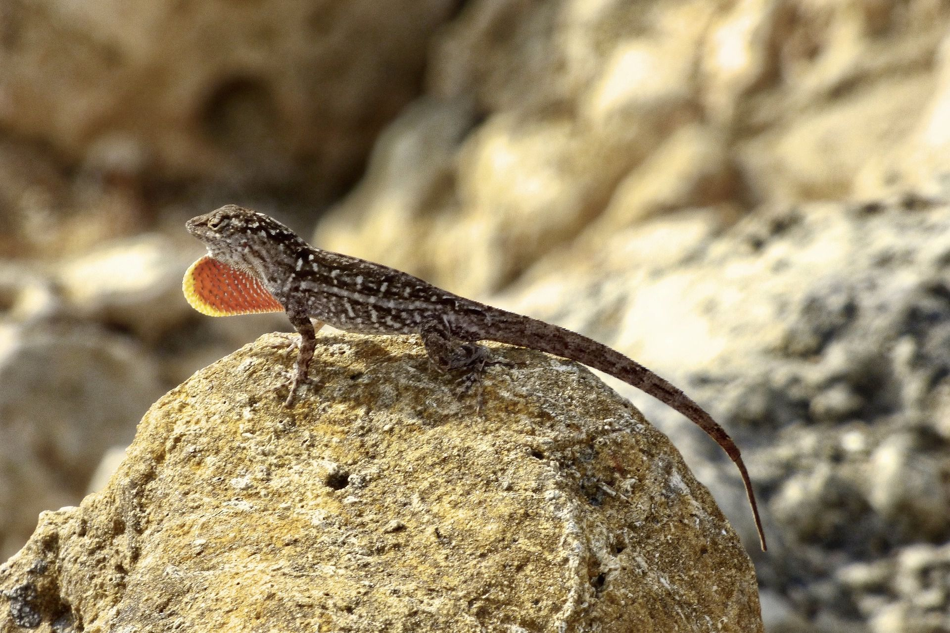Caught in a race against climate change, lizards hit an