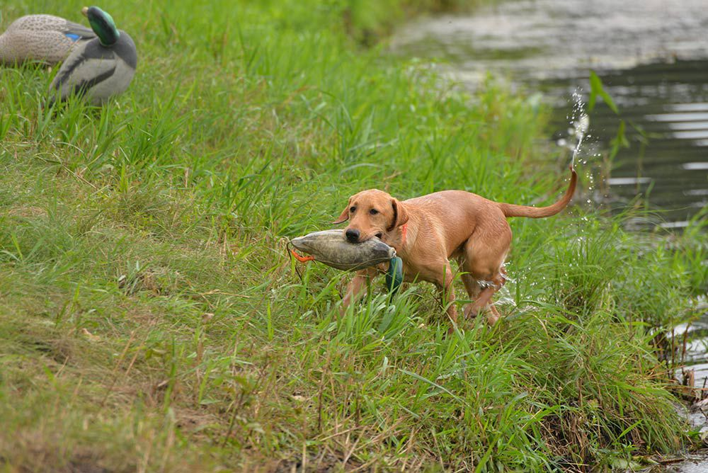 8 Ways to Ruin Your Duck Hunting Dog | Outdoor Life