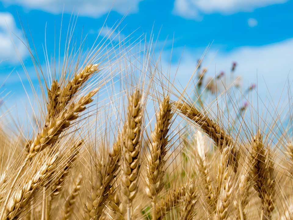 Genetically Modified Wheat Could Bring Bread Back to Those