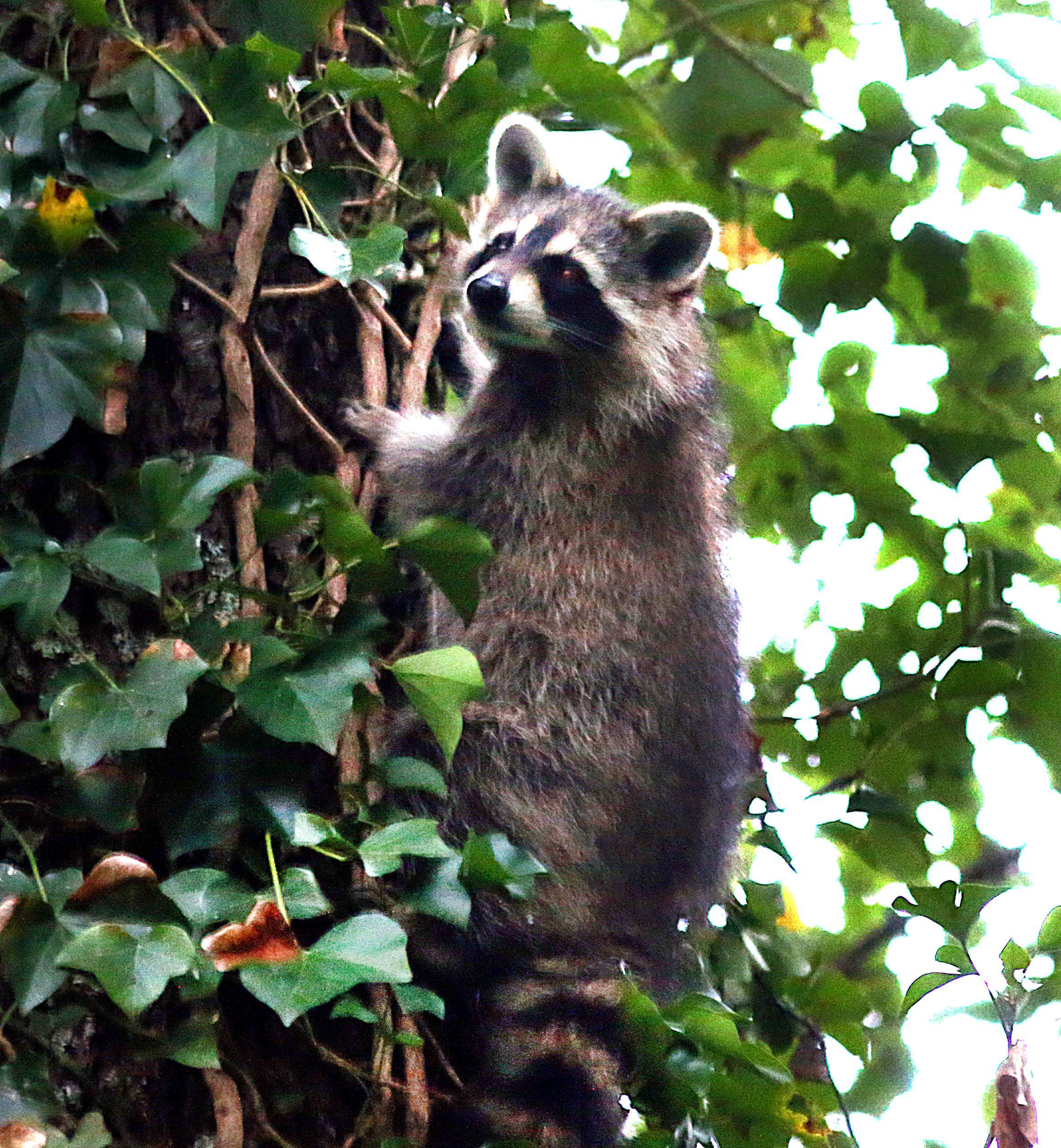 Hey, there's a raccoon on my leg - The Boston Globe