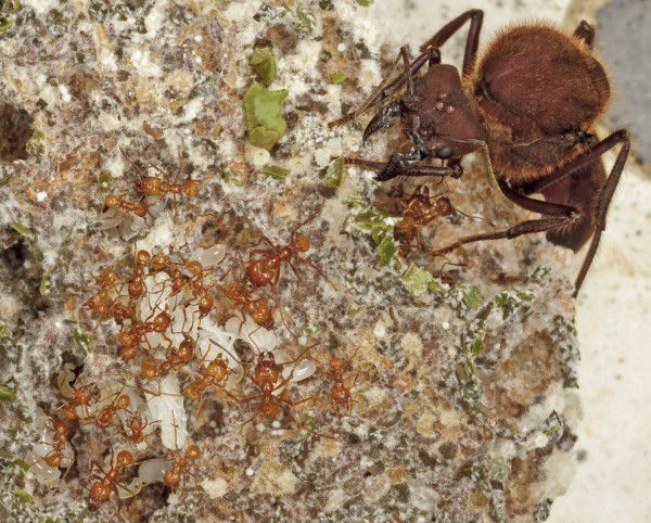 Ants Have Been Farming Fungi Since The Dinosaurs Died Out | Popular