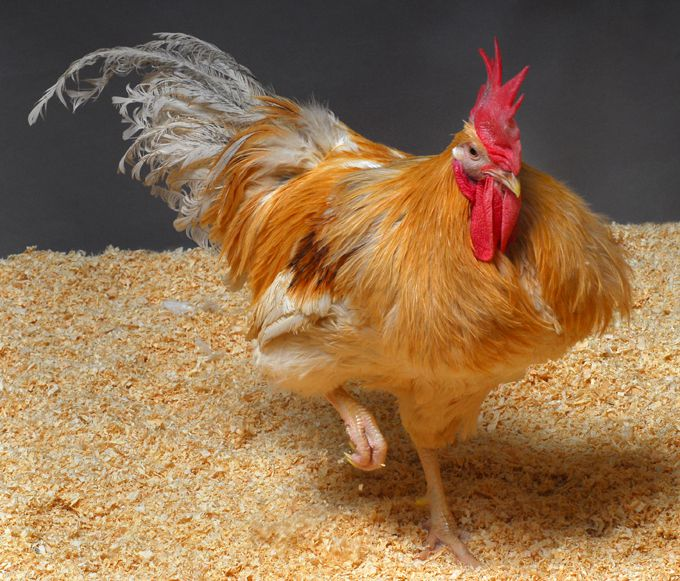New Genetically Modified Chickens Can't Transmit Bird Flu
