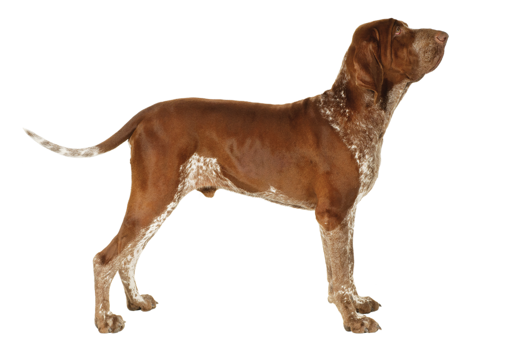 The Best Hunting Dogs For Retrieving Pointing Flushing Or Scent Outdoor Life