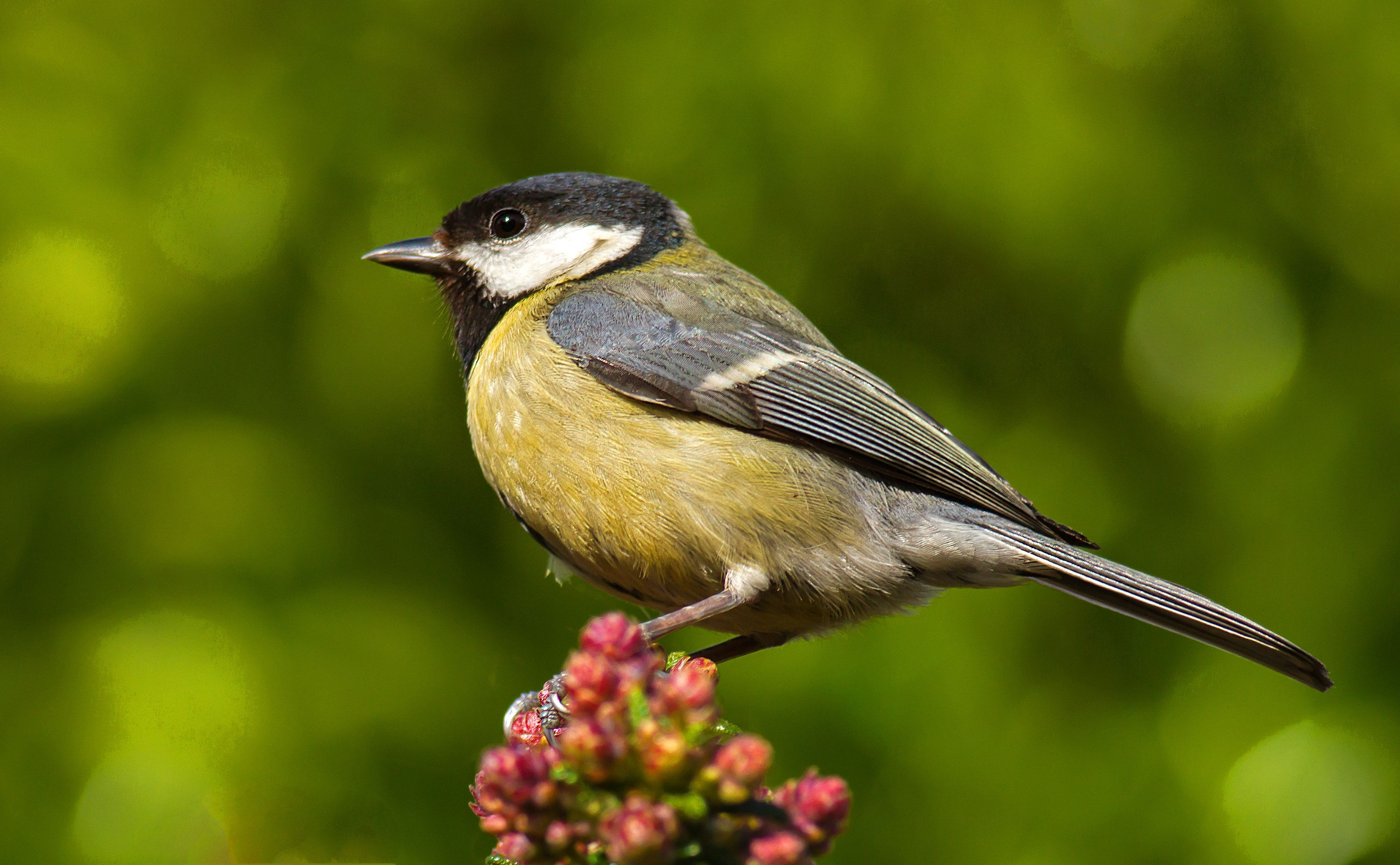 Why Bird Brain Shouldnt Be Considered >> Great Tits Are Killing Birds And Eating Their Brains Climate Change