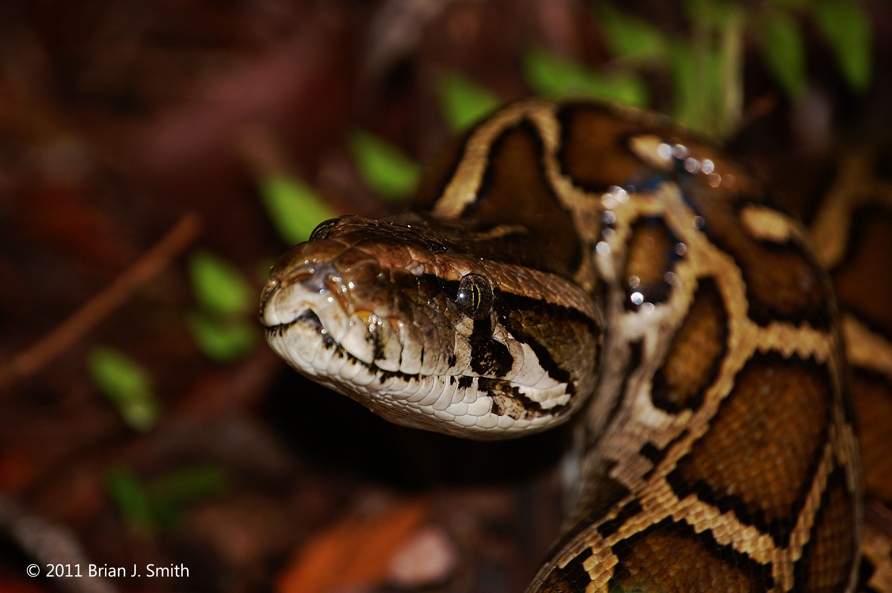 Pythons are invading Florida  Meet the scientists fighting back