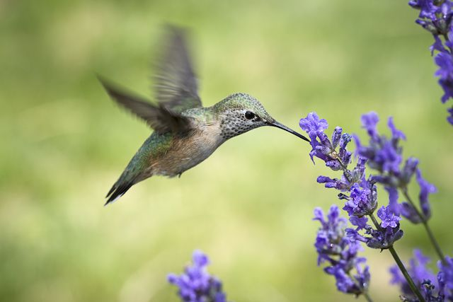 Why Bird Brain Shouldnt Be Considered >> Some Hummingbirds Hit Notes So High Only A Dog Could Hear Them
