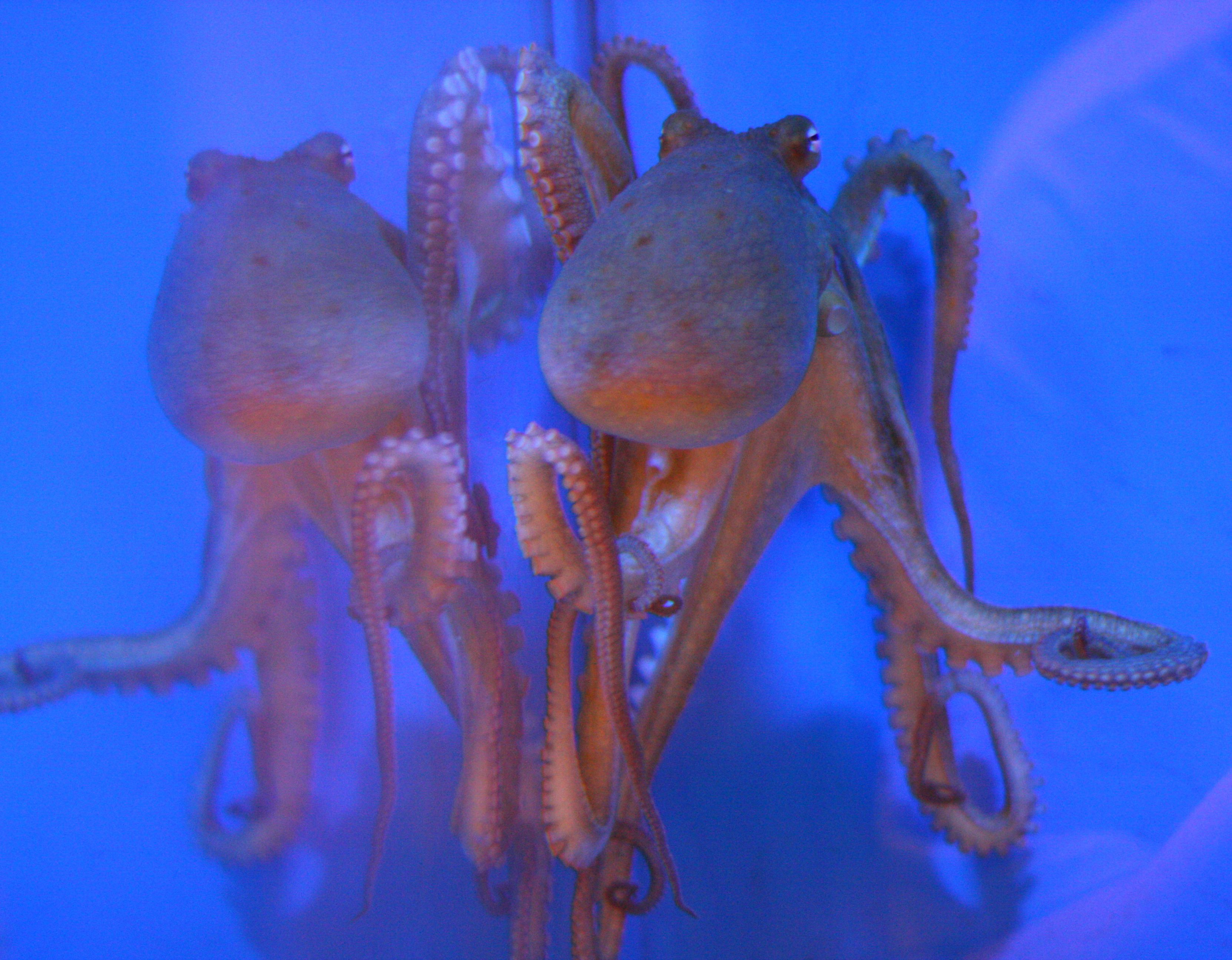 Family Genetics Study Reveals New Clues >> First Octopus Genome Sequence Reveals Clues About Camouflage And Big