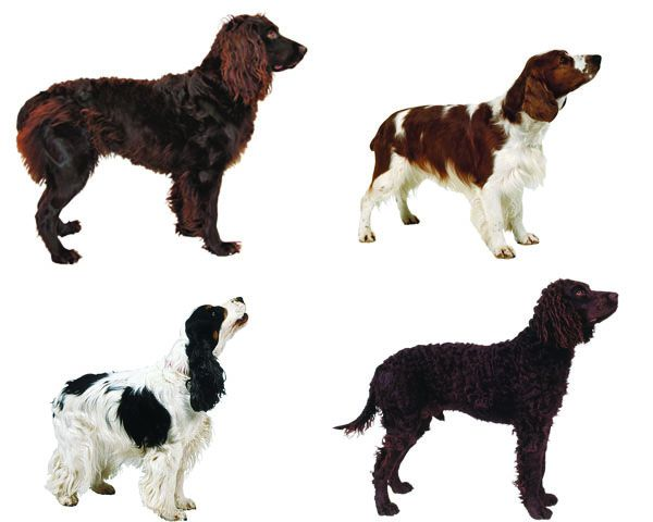The Best Hunting Dogs for Retrieving, Pointing, Flushing or
