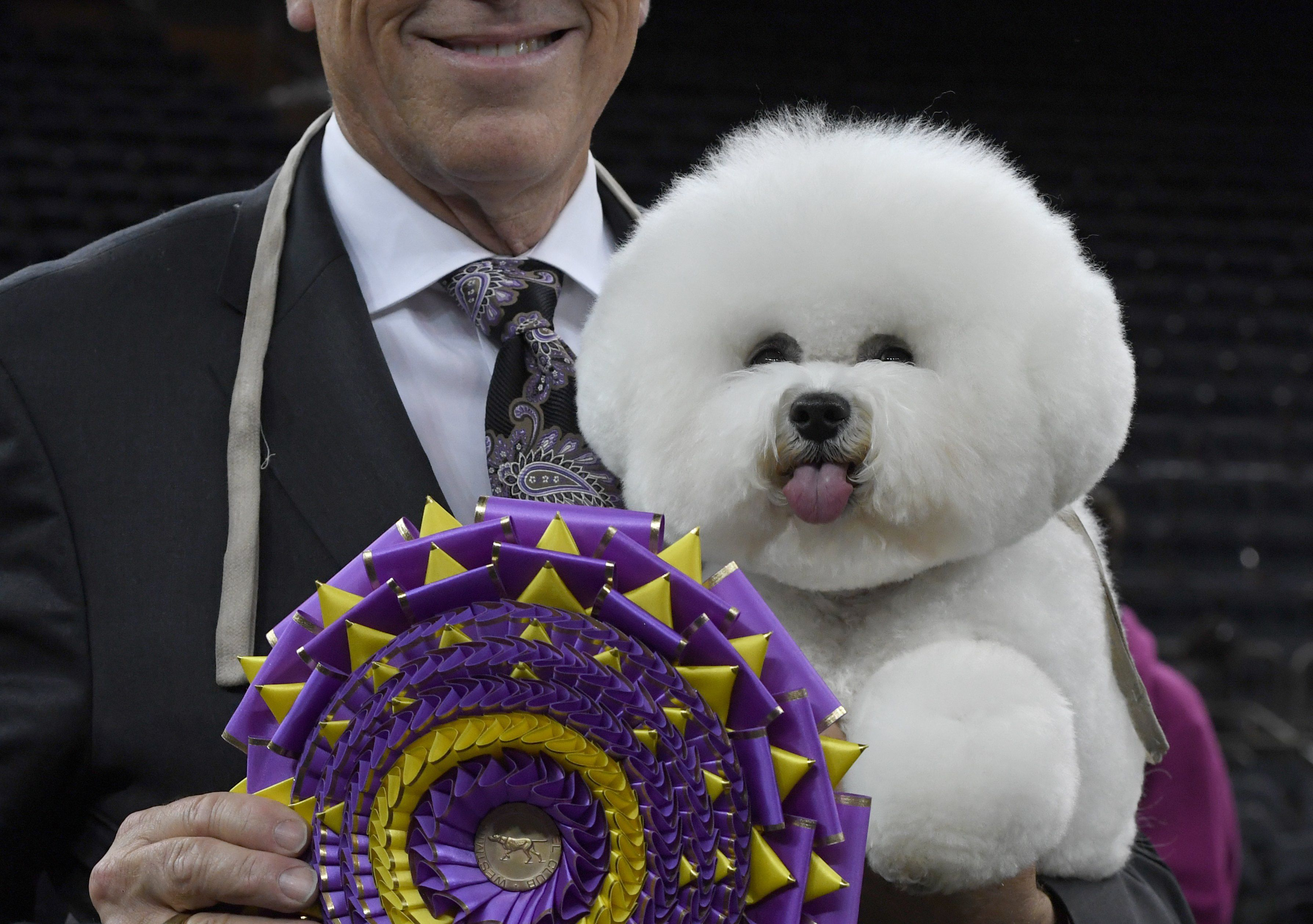 Bichon Frise wins the top prize at Westminster dog show