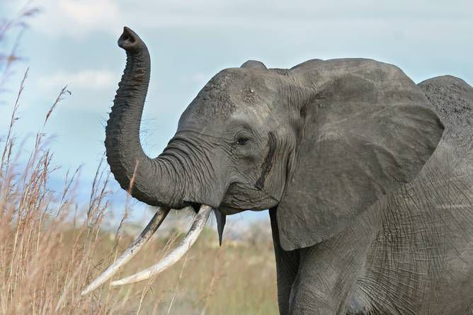 Using DNA Forensics To Track Elephant Poachers   Popular Science