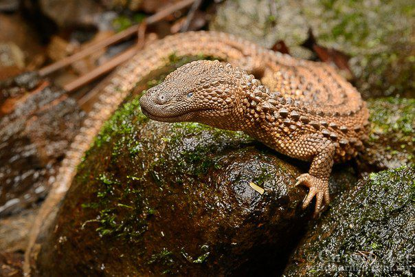 These lizards are the holy grail of herpetology—they're also