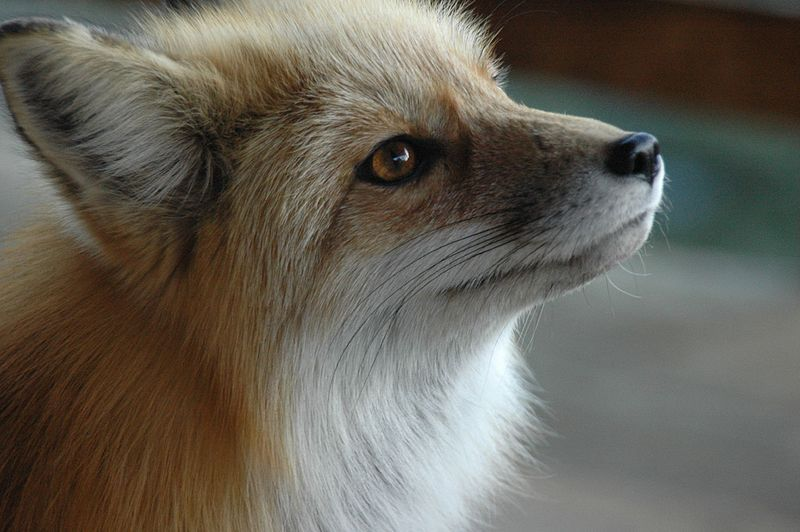 Can I Have A Pet Fox? | Popular Science
