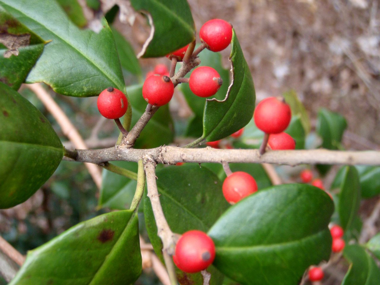 Survival Skills How To Identify Toxic And Edible Red Berries