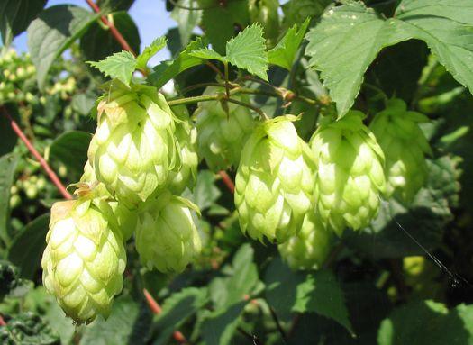 BeerSci: What's The Connection Between Hops And Marijuana? | Popular
