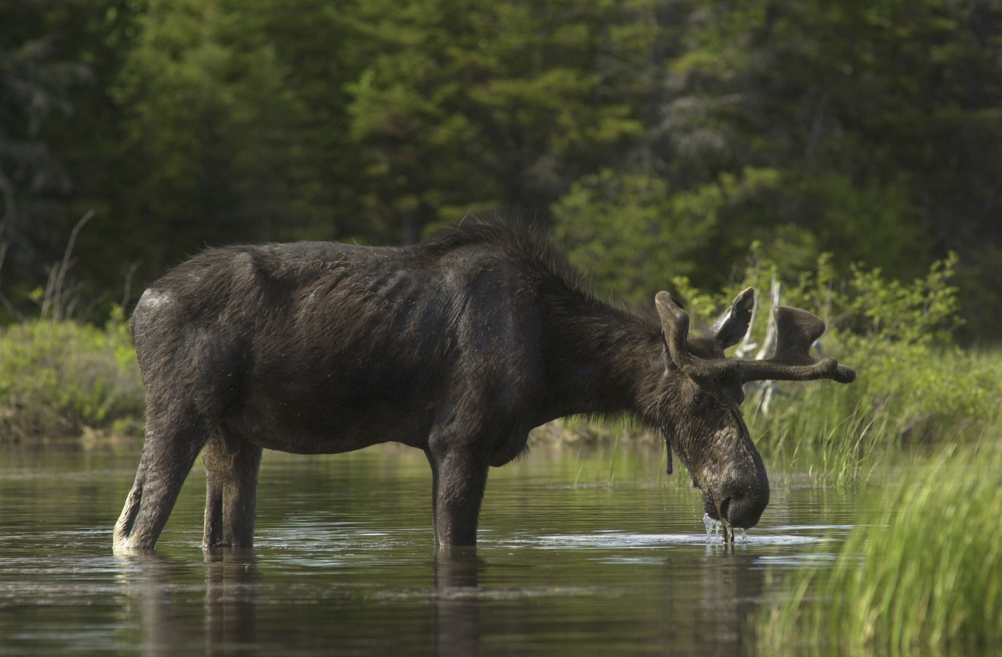 Ticks Have Been Killing Many Moose Calves In New England In